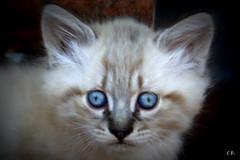 kitty (cinnamonroll.photography) Tags: blue cats cat canon eos eyes kitten blueeyes pussy kitty kittens kitties puss gatto gatti micio mici 500d micino