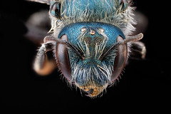 Osmia-distincta,-face_2012-07-02-17.23.56-ZS-PMax (USGS Bee Inventory and Monitoring) Tags: biml droege maryland allegany osmia megachilidae taxonomy:binomial=osmiadistincta usgs bug bugs bee bees animal animals animalia arthropod arthropods arthropoda insect insects insecta hymenoptera aculeata anthophila apoidea megachilinae osmiini masonbee masonbees melanosmia osmiadistincta blue metallic textured dimpled face portrait eye eyes compoundeyes ocelli antenna antennae sensoryarray sensorarray sensoryorgans mandible mandibles alleganycounty md pwrcpatuxentwildliferesearchcenterusgspollinator zerenestacker zerene stacked head compoundeye macro macrophotography