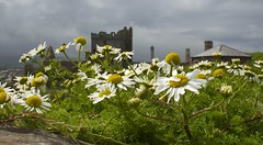 More Castle Daisies :) (dangerousdavecarper) Tags: uk sea man castle daisies peel isle mayweed