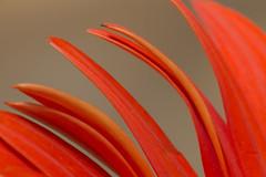 Petals of Orange Gerbera (Sribha Jain) Tags: orangegerbera petals orange gerbera petal flower flora shape lines geometry macro sepal beautiful india bangalore macroflowerlovers