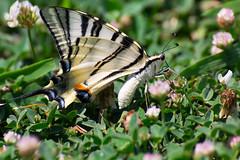 Scarce swallowtail (Izmir, Turkey) (t-mizo) Tags: canon turkey butterfly bug insect tamron lr izmir lightroom     papilionidae iphiclides turco  scarceswallowtail iphiclidespodalirius lr4  eos60d  lightroom4 tamron70300vc tamronsp70300mmf456divcusd tamronspaf70300mmf456divcusd tamron70300vcusd tamron70300mmvc
