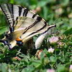 Scarce swallowtail (Izmir, Turkey) thumbnail