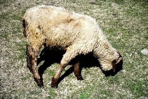 Kashmir sheep near Aru, Kashmir