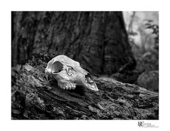 Deer to Dust (Dennis Cluth) Tags: art skull nikon monotone d90