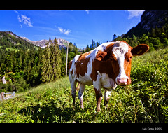 Una vaca curiosa (LuisCarlos_) Tags: cow suiza viajes prairie vaca schwarzsee friburgo switzterland fribourgregion
