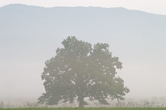 Tree in Fog - Cades Cove