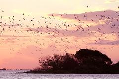 Revoada de Garças © 2011 Ricardo Lima (Ricardo_ Lima) Tags: sunset brazil nature amazon gaivotas santarém pará amazonia amazônia thegalaxy amazonlandscape theoriginalgoldseal amazontwilight