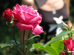 Lato (bazylek100) Tags: summer flower nature rose garden botanical poland polska natura botanic kraków cracow hortus botanicus kwiat róża lato ogród krakoff botaniczny