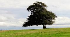 Lonesome Tree (Snowdrop500) Tags: wales walk cymru kerry ceri powys ridgeway midwales bishopscastle kerryridgeway ancienttrail lonesometree