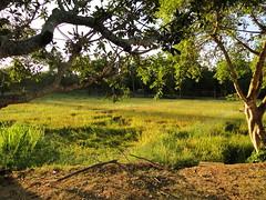 Paddy fields Anuradapura (Janesha B) Tags: nature unescoworldheritagesite srilanka paddyfields anuradapura putlam tissawewa giantlakes ancientdagoba