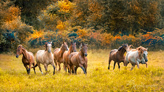On the run (betty wiley) Tags: autumn horses fall golden running foliage pasture grasses equine arabianhorses quarterhorses