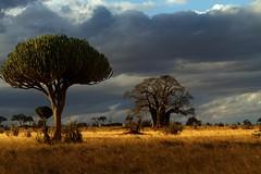 Candelabra, Baobab, Acacias. (shashin62) Tags: africa trees tree clouds landscape tanzania safari wilderness acacia baobab candelabra tarangere candelabracactus tarangerenationalpark
