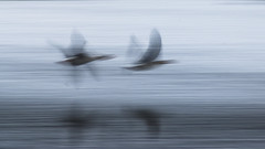 Skimming the Water (1963chris) Tags: blue two lake nature water birds speed reflections flying geese inflight wings movement raw pair sony fast blurred aves birdsinflight avian slowshutterspeed skimming leightonmoss