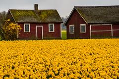 Narcissus 'Dutch Masters' 3848 (billpusztai) Tags: flowers bulb washington spring mount daffodil bloom vernon narcissus