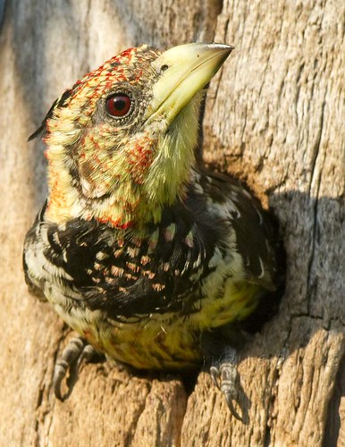 Crested Barbet , a rather  tight  fit in nest entrance_0040