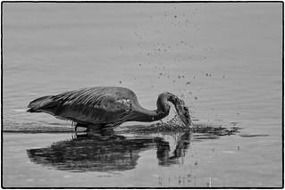 Heron - Splash