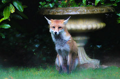 Here's Looking At You, Kid! (Coquine!) Tags: garden countryside unitedkingdom hampshire fox garten fuchs landleben christianleyk