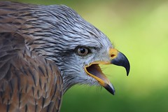 the Call (Hugo von Schreck) Tags: bird germany eagle adler vogel greatphotographers fantasticnature yourbestoftoday tamronsp150600mmf563divcusda011 canoneos5dsr hugovonschreck