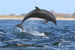 Bottlenose Dolphin - Moray Firth (Ally.Kemp) Tags: wild point jumping dolphin wildlife free dolphins leaping breaching moray blackisle firth chanonry bottlenose fortrose
