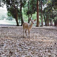 Deer 1 (brandonwinters) Tags: trip summer vacation film japan fuji may hasselblad 400 80mm 2016 503cw