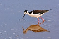 Black-winged Stilt - a reflection in a lagoon on Isabela Island, Galapagos (One more shot Rog) Tags: sea bird nature birds ecuador wings wildlife beak galapagos shore wade waders stilts stilt isabela wader blackwingedstilt isabelaisland galapagosisland onemoreshotrog rogersargentwildlifephotography