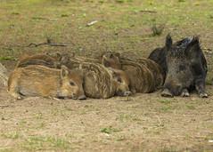 wild boar (roly2008.) Tags: canon mammal wildlife piglet boar wildboar forestofdeane 1dmkiv 100400mmmkii