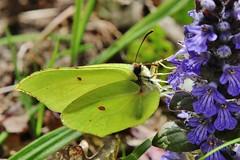 Gonepteryx rhamni (Hugo von Schreck) Tags: macro butterfly insect makro schmetterling gonepteryxrhamni greatphotographers onlythebestofnature tamron28300mmf3563divcpzda010 canoneos5dsr zitronrnfalter hugovonschreck