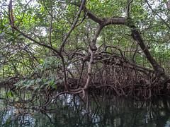 """Bocas del Toro: les mangroves de l'île aux Paresseux <a style=""""margin-left:10px; font-size:0.8em;"""" href=""""http://www.flickr.com/photos/127723101@N04/27058229790/"""" target=""""_blank"""">@flickr</a>"""
