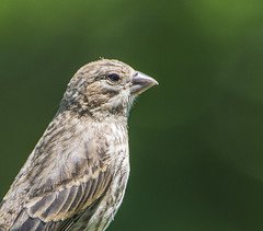 Immature House Finch (branchu) Tags: house bird nikon finch immature d500
