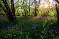 Blue Bells (John Soliven) Tags: light sunset bluebells essex colchester lightray westbergholt lightpatch hillhousewood nikond810 nikkor1635f4 progreyusa progreyfilterholder progreyfilter