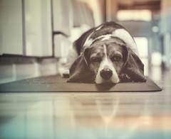 21/52 (cathy sly) Tags: blackandwhite beagle basil 52weeksfordogs