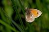 Kleines Wiesenvögelchen (Coenonympha pamphilus), Holzwarchetal bei Mürringen, Ostbelgien (Frank.Vassen) Tags: ostbelgien holzwarche holzwarchetal mürringen coenonymphapamphilus coenonympha kleineswiesenvögelchen lepidoptera