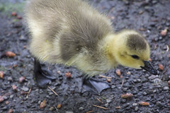 2016-05-23 Baby!!! (Mary Wardell) Tags: baby oregon canon portland spring goose surprise gosling rhododendrongarden 60d