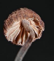 Fibrous cap Brown mushroom Mycena sp aff juniperina Mycenaceae on rotting limb Airlie Beach rainforest P1040379 (Steve & Alison1) Tags: brown beach mushroom rotting rainforest cap sp limb aff mycena airlie fibrous juniperina mycenaceae