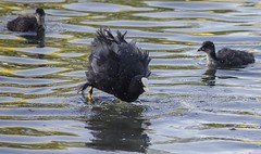 Coots at Moses Gate (lazyjane1977) Tags: park bird nature birds bolton coot coots mosesgate