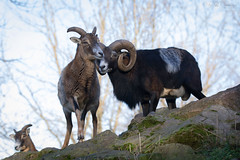 Mouflons (Cloudtail the Snow Leopard) Tags: wild animal mammal sheep tier pforzheim wildpark schaf sugetier mouflon ovis mufflon orientalis wildschaf
