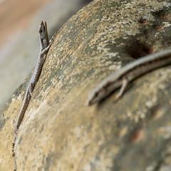 Skinks, Bako National Park, Borneo (tik_tok) Tags: rock skink basking