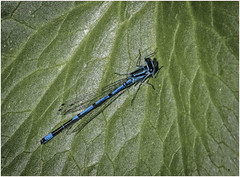 Azure Damselfly (male) (cconnor124) Tags: macro nature insects closeups damselfly canoneos naturephotography damsels flyinginsects shieldofexcellence canon100400lens commonbluedamselflies canon760d