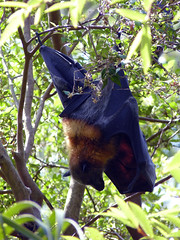 (Mitchell Lafrance) Tags: travel vacation holiday interesting sydney australia botanicalgarden flyingfox 2010