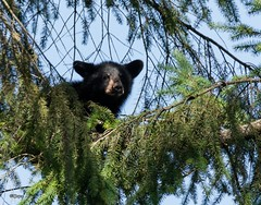 Black Bear Cub (T0nyJ0yce) Tags: bear wild baby cute animals cub wildlife adorable explore mammals blackbear canon7dmarkii tamron150600