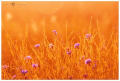 Chabry (Mirek Pruchnicki) Tags: sunset sun flower cornflowers