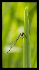 IMG_0045 Damselfly (Scotchjohnnie) Tags: macro nature closeup canon insect damselfly canoneos macrophotography sciurusvulgaris zygoptera bluedamselfly sigma105mmexdgf28 canon7dmkii scotchjohnnie naturewildlifeandbirds