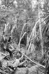 In Tasmania: Pandani Grove, Mt Field National Park (Milo R.) Tags: leica tree film analog 35mm jungle tasmania f2 idyll prehistoric m6 leicam6 mtfield auatralia