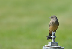 Say's Phoebe 6-17-16 (Carol Riddell) Tags: bird phoebe flycatcher saysphoebe lincolncounty washingtonbirds davenportcemetery