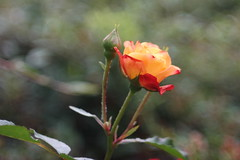Orange Rose (digitalsucher) Tags: bokeh samsung m42 schneider kreuznach xenar schneiderkreuznach 5028 edixa 50mm28 edixaxenar nx300