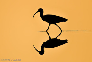 Glossy Ibis (artistic attempt)