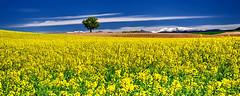 Colza........ (Malain17) Tags: sky clouds landscape photography pentax perspective champs photographers panoramic arbres provence paysage campagne printemps saisons montagnes colza profondeurdechamp