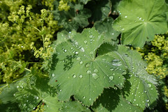 Frauenmantel (mama knipst!) Tags: leaf waterdrop natur blatt wassertropfen