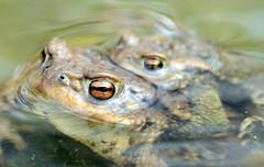 toads 03-2012 (7) (Armin Rodler) Tags: macro austria österreich spring nikon toads armin toad makro tamron 90mm teich gettyimages frühling kröten kröte amphibien rodler d7000 dimacro arminrodler rodlerarmin
