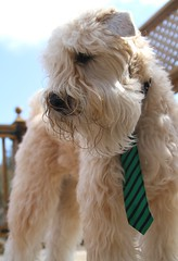 Dapper dog... (1 more in comments) (milikin) Tags: softcoatedwheatenterrier dogtie scwt